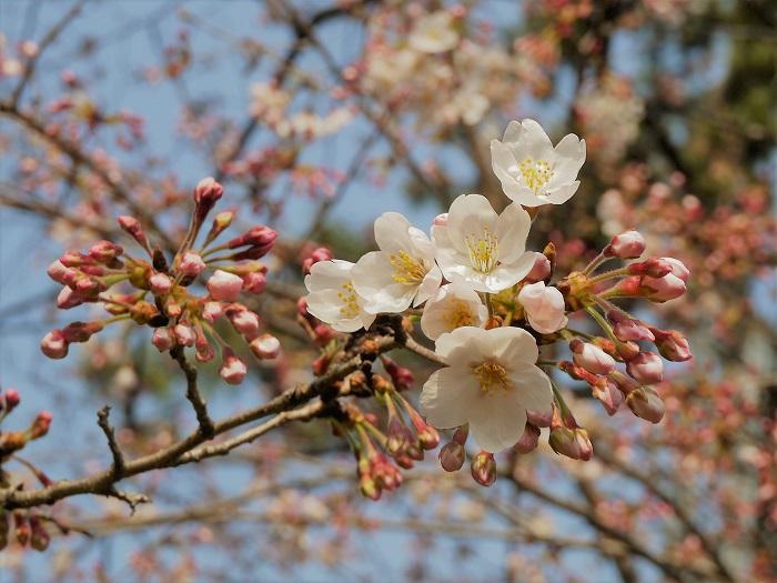 春になると染井吉野(ソメイヨシノ)が咲き始めるよりも早く、切り花の桜が出回り始めます。桜の枝をお家にも飾ってみませんか。自宅でお花見が楽しめます。  あまり大きな枝は難しいかもしれませんが、自宅で桜を上手に生けるコツをご紹介します。  用意するもの 枝切用ハサミ 花瓶(安定感のあるもの) レンガなど 桜の枝は非常に固く切り辛いので、購入時にはあまり枝の太くないものを選びます。枝を枝切用ハサミで生けたい長さにカットします。このとき、実際に飾る予定の場所で、花瓶の高さに合わせて長さを決めるといいでしょう。  好みの長さカットしたら、水の吸い上げがよくなるように枝の芯を割るという作業を行います。カットした桜の枝の切り口に、縦にハサミを当てて枝に裂けめを入れます。この作業を「枝を割る」と言います。枝の中心部にある芯を割ると水の吸い上げが良くなります。うまくこの芯の部分にハサミが入ると気持ちがいいくらいパキンと割れます。  桜を生けるコツ 切り口を割った枝を花瓶に生けます。花瓶はたっぷりとした大きさの安定感のあるものを選びましょう。口が広がった形の花瓶は、枝の重心が外側に向かうので、花瓶が倒れやすくなります。気をつけてください。  花が付いている桜は水をたくさん必要とします。花瓶にはたっぷりと水を入れてください。水の重みで花瓶は安定しますが、桜の枝の方が重いように感じたら、花瓶のなかにレンガなどを入れてバランスを取ってください。