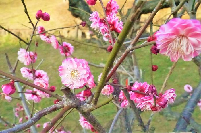 梅は、花も実も楽しめる庭木です。梅の花が咲く季節、実がなる季節をそれぞれご紹介します。  梅の開花時期 梅の開花時期は早春です。早咲きの品種であれば1月後半から咲き始め、後を追うように他の品種も3月末くらいまで咲き続けます。梅は品種によって開花時期にずいぶんと差があります。さらに桜と違って開花期が長いのも特徴です。それ故に何種類もの梅が植えられている梅林は、長い期間花を楽しむことができます。  梅の収穫時期 梅の実の収穫のタイミングは、用途や好みによって違うので一概に何とも言えませんが初夏6~7月です。初夏の雨が多くなる時期を「梅雨(つゆ)」と言いますが、その通り梅の実が大きくなる頃とこの雨の時期が重なるので「梅雨」という漢字が当てられたと言われています。  梅の実は青いうちに収穫すれば硬く、黄色く熟して香りも甘くなってきた頃に収穫すれば柔らかい果実を楽しめます。梅の実の熟し具合は用途と好みによって違います。梅酒として漬け込むならまだ緑色の若い実が向いています。熟し始めた梅の実を梅干しにすると漬かりやすく柔らかい梅干しを楽しめます。アンズのように黄色く柔らかく熟した梅の実はジャムに向いています。  梅の実の収穫時期は6月を過ぎた頃から梅の熟し具合に注意を払い、好みになったら収穫するのがいいでしょう。