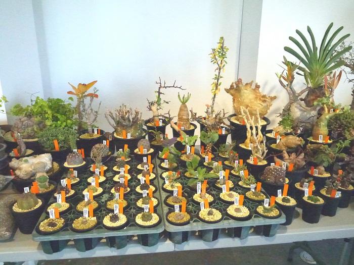 ずらりと並ぶ品揃えの多さが圧巻のISHII PLANTS NURSERYさん。手軽に手に取れるようなサイズのものから大きなものまで。
