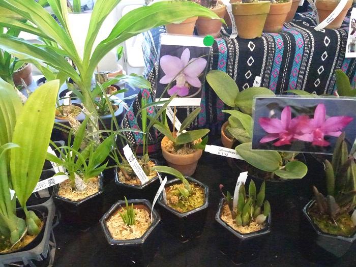 現在は花が咲いていない株ということで、花の写真がついていました。お店の方の細やかな気遣いを感じます。