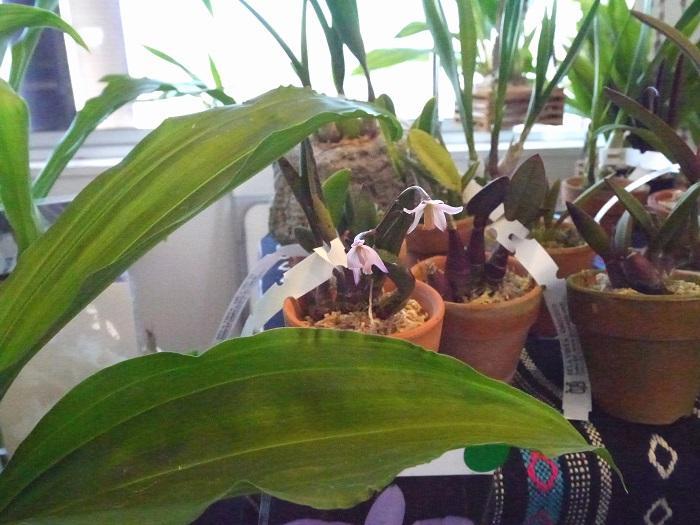 ブラジルからの輸入のランを取り扱うBela Vista Orchidsさん。大きな株から小さな株まで品揃えもバラエティに富んでいます。