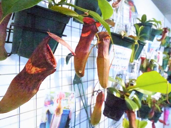 こちらは食虫植物を専門に扱っているというHiro's Pitcher Plantsさんです。  ずらりとぶら下がるネペンテスたち。ネペンテスは和名をウツボカズラという食虫植物です。このツボの中に落ちた虫を溶かしてしまうのですが、自宅で育てる際には虫は必要としませんので与えなくても大丈夫です。