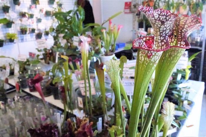 同じく食虫植物のサラセニアも並んでいました。