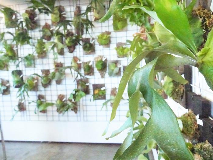 ビカクシダ、ラン、山野草、ミニ盆栽など幅広い品揃えのnecomossさん。ビカクシダだけでもこんなにずらり。