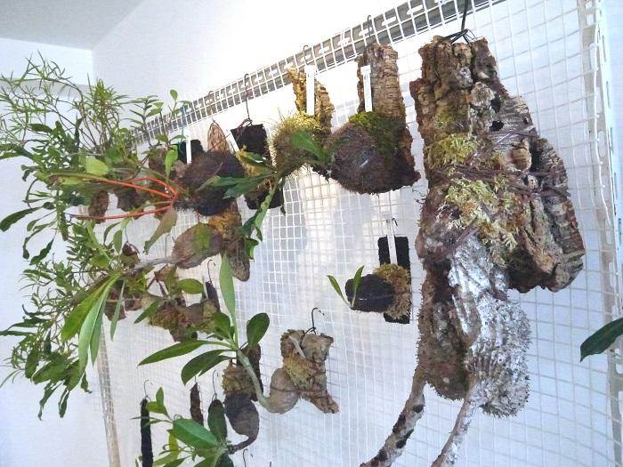 こちらはアリ植物というちょっと変わった着生植物のお店、STRINGEPLANTSさん。このゴツゴツしたふくらみの中にアリが住めるようになっているそうです。  (日本で園芸用として育成されているものにはアリは住んでいません)