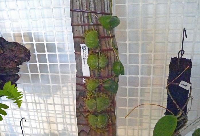 マメヅタのように小さなアリ植物までいました。