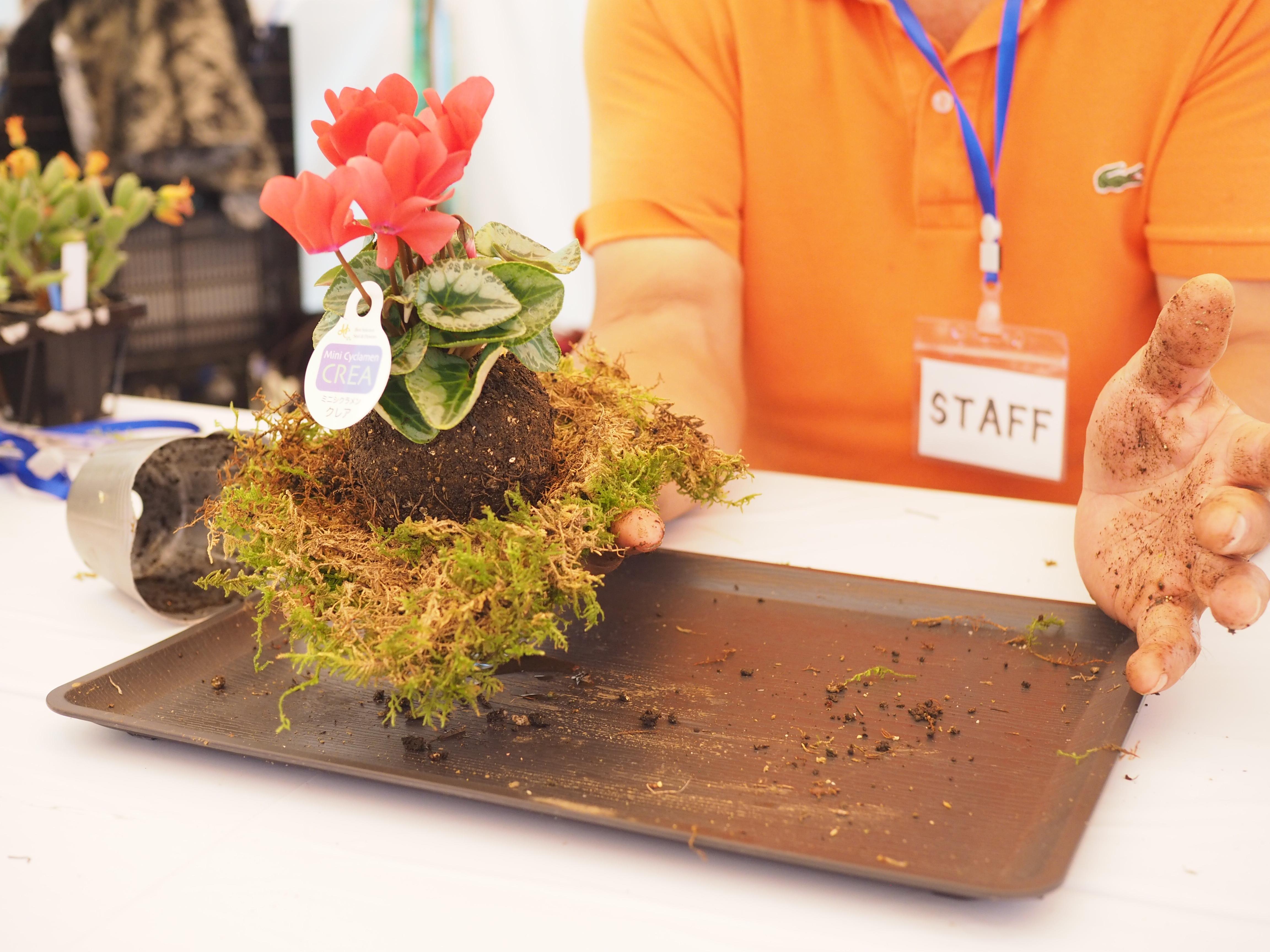 使用する苔は、天然のハイゴケ、着色した水苔、フェイクの苔の3種類から選びます。写真は天然のハイゴケバージョン。  ポットから外した根鉢を手のひらで丸く成型し、広げた苔の上に乗せます。あとは根鉢を苔でつつんで、紐で縛っていくだけ。