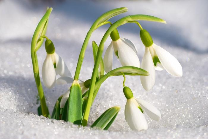 別名「待雪草」、「雪のしずく」、「雪の草」などの名前を持つスノードロップは、冬の終わりから春の入り口のまだ寒いころの雪の残る中でも花茎をすっと伸ばし、うつむくように一輪ずつ花を咲かせます。スノードロップの草丈は10~20cm。地面をよく見ていないと、見逃しそうなくらいひっそりと開花する姿がとてもかわいい球根の花です。