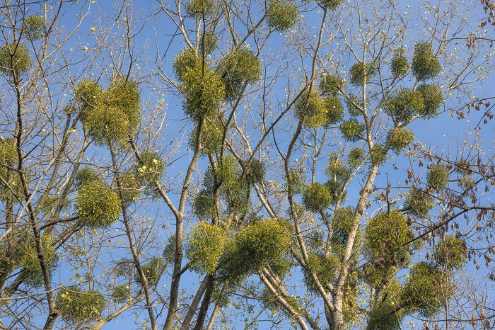 ヤドリギは他の樹木の栄養を吸って生きる寄生植物