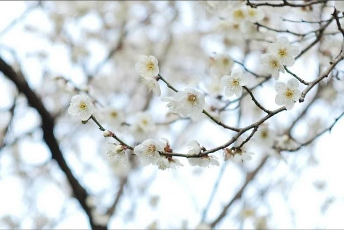 学名:Prunus mume 科、属名:バラ科サクラ属 分類:落葉高木 梅の花の特徴 梅は中国原産の落葉高木です。初春のまだ緑も花も少ないお庭で香りの良い花を咲かせてくれます。まだ寒い季節に鼻先をかすめるようにふわりと梅の香りが流れてくると、春が近いことを実感します。梅はバラ科サクラ属の庭木ですが、桜と違い香りがよいのも特徴です。梅は花、香り、実が楽しめる理想的な庭木です。  澁澤龍彦氏は自身の本の中で梅の花を「的皪(てきれき)」と表現しています。的皪(てきれき)とは白く光り輝く様子を表現する言葉です。初春の明るい太陽に照らされて、輝くように咲く梅の花。梅の花の美しさを表現するのに、これほど適切な言葉はないように思います。