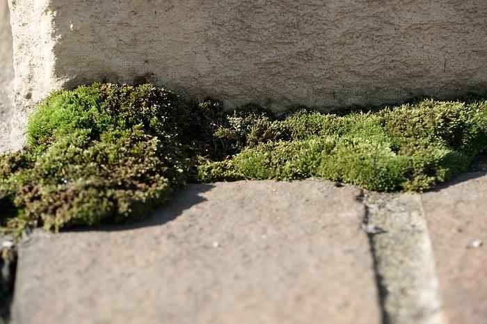 先ほどの図でいうと左下に入るような明るくて乾いた環境を好む苔は、戸外の日なたなどに生える苔です。明るい光と風通しのよい環境を好むため、ガラス容器に入れたり、室内で観賞するコケテラリウムにはあまり向きません。