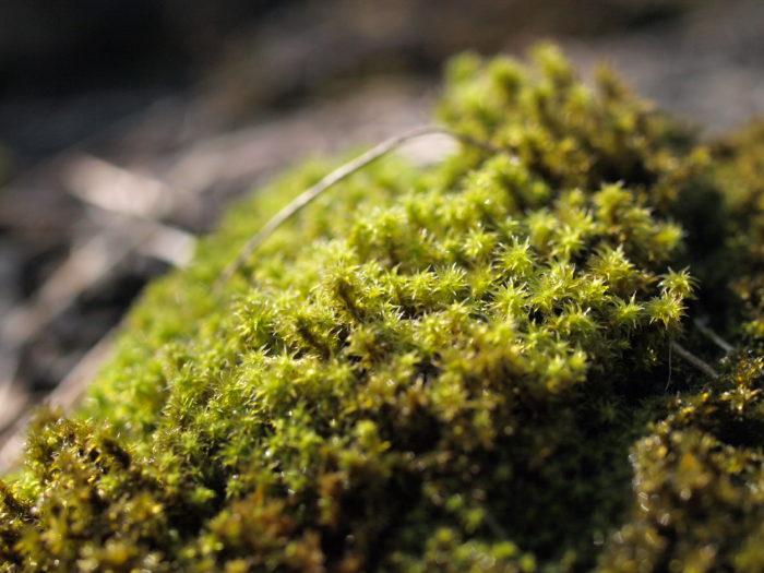 乾燥と明るさを好むタイプの中では、他の種類に比べると、比較的多湿な環境にも耐えるスナゴケがおすすめです。