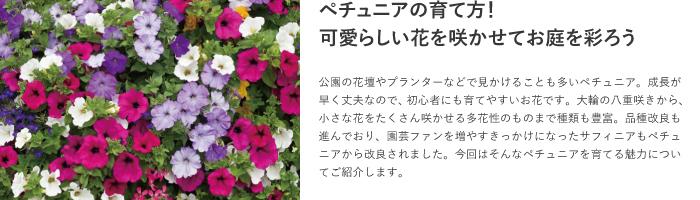 人気草花のペチュニアの育て方をチェック!