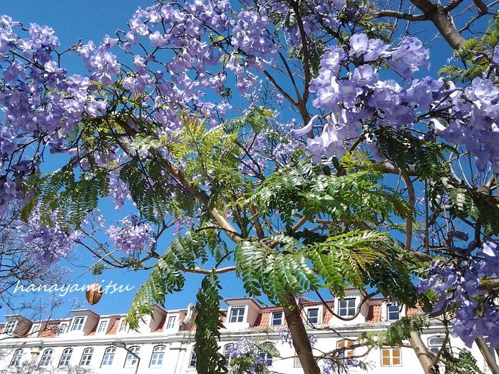 ジャカランダの花の時期は初夏。真夏になる前のカラッとした時期に青紫色の花を霞のようにたわわに咲かせます。真っ青な夏の空に浮かぶ紫色のジャカランダの花は、その名の通り紫煙のような美しさです。  その年によって差はありますが、日本では5月の末くらいから咲き始め6月の上旬頃に見頃を迎えます。