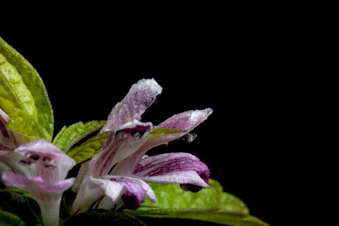 キセワタは晩夏~秋にピンク~白の花を咲かせます。花は芳香性で、かすかに甘い香りがします。  また、名前のキセワタ(着せ綿)は花冠の上に毛が生えていることが由来だと言われています。