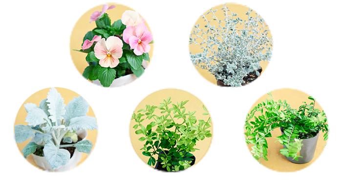 ( 写真上段 左から) ・パンジー3ポット/スミレ科 耐寒性一年草 ・オレアリア リトルスモーキー/キク科 耐寒性低木 ( 写真下段 左から) ・シロタエギク/キク科 耐寒性多年草 ・プリムローズジャスミン/モクセイ科  半耐寒性低木 ・ロニセラ ゴールド/スイカズラ科 耐寒性低木 ライムグリーンの葉ものを入れることで冬の寒空に明るさをプラス。さらにシルバーリーフを入れることでより冬らしさを演出します。