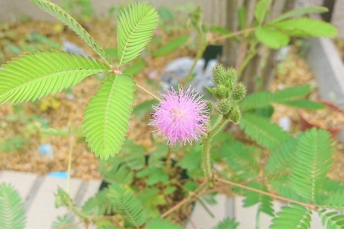 ミモザとオジギソウは仲間? 本来の学名が「Mimosa」のオジギソウは、触れると葉を閉じてしまう可愛らしい植物です。子供の頃に遊んだ記憶があるのではないでしょうか。オジギソウは夏に小さな淡いピンク色のミモザによく似た花を咲かせます。触れると葉を閉じてしまうところや、淡いピンク色の花などから、フランスではオジギソウのことを「恥ずかしがり屋のミモザ」と呼ぶそうです。可愛らしいですね。