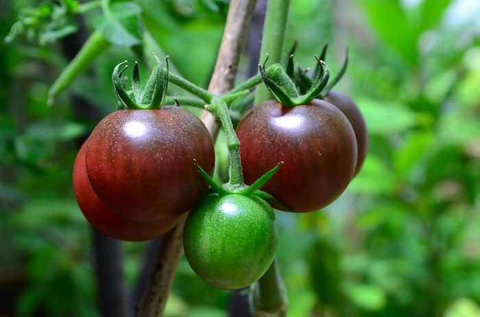 水やり、追肥、病害虫...育て方のポイントをおさえて、たくさんのミニトマトを収穫しましょう。