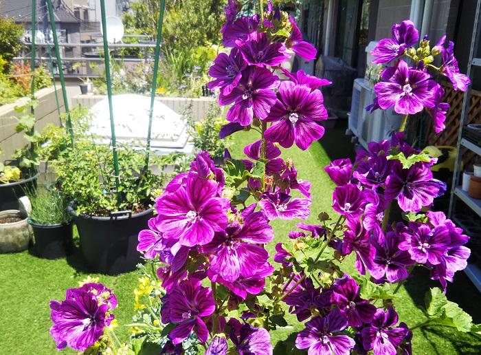 おすすめポイントと特徴  マロウは春から夏に紫色の美しい花を咲かせます。花色がきれいなのでハーブティーとして使われることが多いです。マロウのハーブティーにレモンを入れるとブルーからピンクに変化する様子も楽しめます。  育て方のコツ  マロウは日あたりと水はけがよい用土を好みます。こぼれ種で野生化するほど丈夫です。寒さで地上部が枯れますが、地ぎわから2~3芽残して短く切り、控え目に水やりをして冬越しさせましょう。春になると再び新芽が出て育ちます。