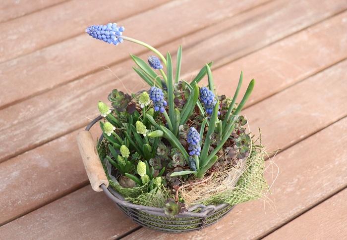 植え付け後、たっぷり水やりをして屋外の日なたで育てました。土が乾いたのを確認してから水やりをする作業を続けていくと、3月末には写真のようにかわいいムスカリが器いっぱいに咲きました。