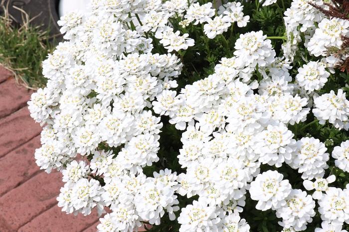 4.イベリス アブラナ科 耐寒性多年草 観賞期:周年  開花期:4~6月  花色:白など  草丈:20~60cm  イベリスは種類によって一年草と多年草があります。イベリス・センペルヴィレンスなどの多年草のイベリスはグランドカバーとして使えます。花後と株が乱れた時や冬前などにバッサリと刈り込んでおくと、常にきれいな株を維持できます。日あたりと風通しのよい場所を好み、植えっぱなしで年々花が見事になります。花が終わって切り戻した後の葉だけの状態も美しいので、オールシーズン美しく楽しめます。