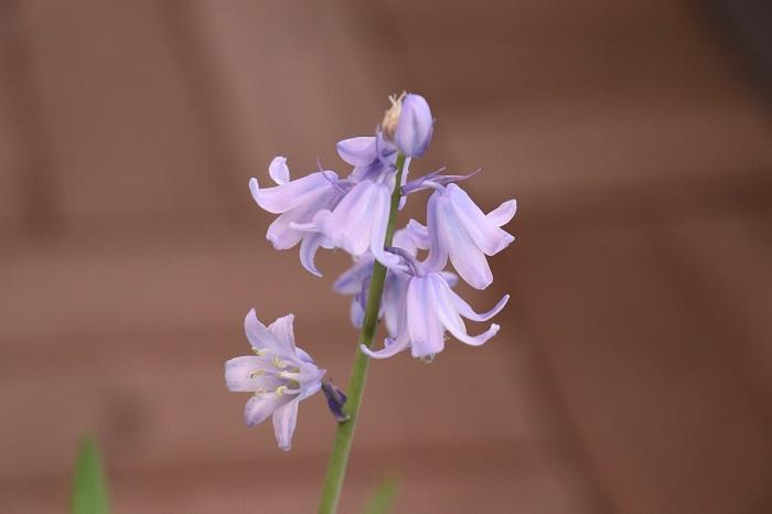 4月中旬には、スパニッシュブルーベルの花もきれいに咲きました。