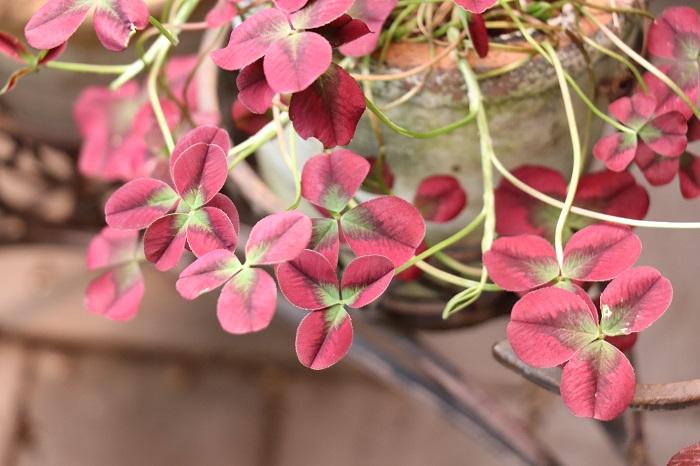 """9.クローバー マメ科 耐寒性多年草 這性 観賞期:周年 開花期:5~7月 花色:白、ピンク、黄色など 草丈:10~20cmほど  クローバーは冬も常緑です。とても丈夫で日なたならどこでも育つくらいです。定植後に茎が伸びすぎた場合は、バッサリと刈り込んでかまいません。園芸品種の様々なクローバーも出ているのでお気に入りの品種をみつけられそうですね。  <div class=""""posttype-library shortcode""""><div id=""""postMain"""" class=""""full""""><article class=""""library-list-tax""""><a href=""""https://lovegreen.net/library/flower/p88906/"""" class=""""clickable""""></a>    <div class=""""library-list-ttl clearfix"""">    <h2 class=""""library-list-ttl-text""""><span class=""""library-list-ttl-text-inner"""">クローバー(シロツメクサ・白詰草)</span></h2>     <div class=""""library-list-types"""">     <a href=""""/library/type/flower"""" class=""""library-list-type <?php echo $slug; ?>"""">草花</a>    </div>  </div>   <div class=""""thumbnail"""" style=""""background:url(https://lovegreen.net/wp-content/uploads/2017/04/119-300x200.jpg) no-repeat center/cover;""""></div>   <div class=""""top-post-ttl-extext"""">           <ul class=""""library-list-list"""">           <li class=""""library-list-item""""><p>クローバー(シロツメクサ・白詰草)はマメ科の常緑多年草です。日本で最もよく目にするクローバー(シロツメクサ・白詰草)は、3枚の小葉からなる濃い緑色の葉の間からボール状の白色の花を咲かせます。牧草のほか公園や河川敷きなどで芝生の代わりに使われることもあります。丈夫でよく育ちますが暑さには弱い傾向があります。</p> <p>トリフォリウム属は北半球の温帯にかけて230種ある一年草または多年草で、葉は3、5、7の小葉からなります。花色もさまざまで紫、淡紅、白、黄などです。最近は葉色が鮮やかなものや葉に模様が入ったもの、全てが四つ葉のものなど園芸品種も多く作られ観賞用として栽培されるほか、原種は牧草や蜜源植物としても栽培されています。</p> </li>       </ul>       </div> </article></div></div>"""