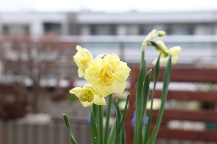 寒い時にぎゅっとパワーを蓄えて、春に美しい花を咲かせる春咲き球根。花が終わった後、暑い季節は半日陰の軒下でそっと休憩し、また秋から動き出して寒い冬を乗り越えて再び美しい花を咲かせる。そんな力強さとけなげな姿に毎年感動します。  ぜひ、お気に入りの植えっぱなし球根の寄せ植えを作って毎年お楽しみください。