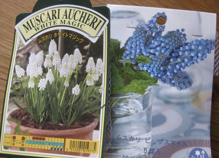 ムスカリは3~5月中旬頃に丸い壺形の小花がブドウの房のように密集して咲くかわいい花が人気の球根です。花色は青紫、水色、ピンク、白などがあります。草丈は15~20㎝くらいです。日なたから半日陰、水はけのよい用土を好みます。球根の植え付け適期は10~12月くらいです。11月初めに2種類のムスカリとセダムを一緒に植えました。