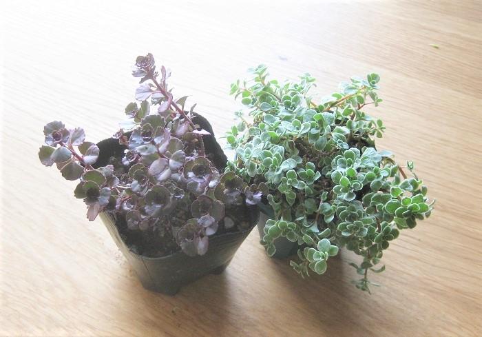 一緒に植えるセダムも2種類用意しました。セダムと球根を一緒の器に植えておくと、球根の芽が出てくるまではセダムを育てて楽しむことができるのでおすすめです。
