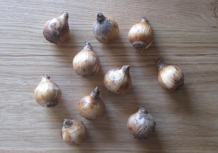スイセンの球根はこんな形をしています。球根のサイズは種類によっても違いますが、今回植えたサイズは直径3~4㎝ほどです。