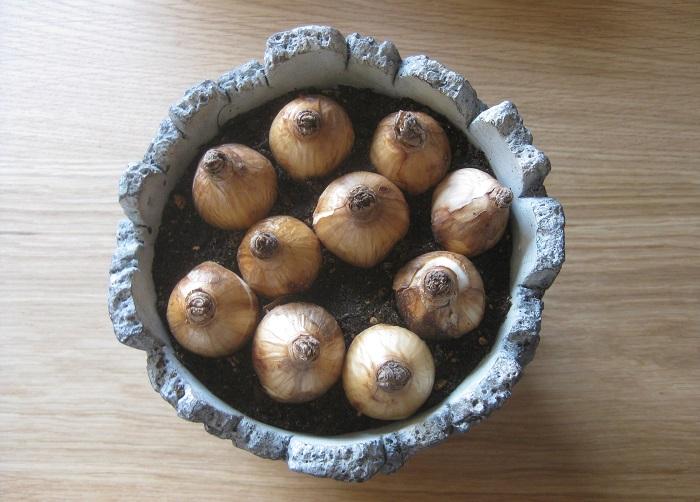 スイセンの球根をとんがっている部分を上にしてスペースいっぱいに隙間なく配置し、球根が半分くらい土に隠れるように植えます。球根を植える時に通常は少し間隔をあけますが、鉢に植える場合は間隔をあけずに植えると豪華に咲かせることができます。また、スイセンの球根を地植えにする際は普通6~10㎝ほどの深さに植えますが、鉢に植える場合は球根が半分ほど見えている状態に植えても問題なく育ちます。