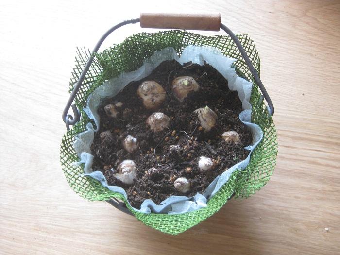 土の上にムスカリの球根2種類をランダムに配置し、球根が土から少し顔を出すくらいに植えます。