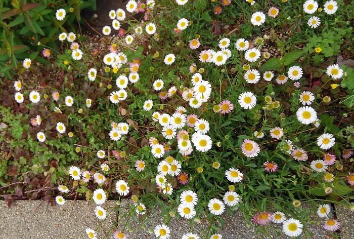 5.エリゲロン キク科 耐寒性多年草 這性 観賞期:周年  開花期:5~11月  花色:白、ピンク 草丈:20~30cm  エリゲロンは寒くなると地上部が元気がなくなります。冬前に刈り込んでおくと春に芽吹いて咲きます。強健で、夏に切り戻すと秋に再び満開になります。日なたと水はけのよい乾燥気味の用土を好みます。横に伸びるように生長し、花壇やロックガーデンなどに植えると見栄えがします。