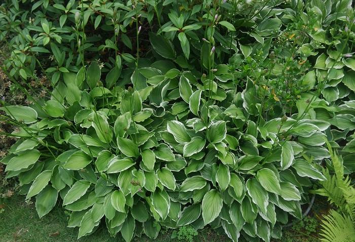 6.ギボウシ ユリ科 耐寒性多年草 観賞期:春から秋 開花期:6~7月 花色:白、うす紫など  草丈:20~100cm  ギボウシは冬は地上部が枯れてなくなります。明るい半日陰で少し湿り気がある場所を好みます。強い直射日光にあたりすぎたり、乾きすぎると葉が傷みます。