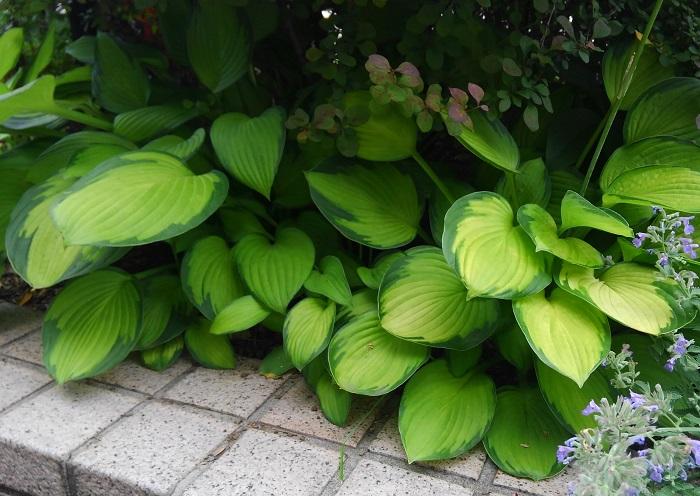存在感のある大きな葉は色も様々あり、ギボウシはシェードガーデンのグランドカバーにぴったりです。