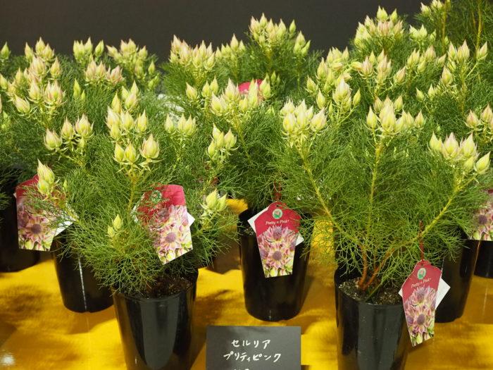 こちらのセルリアも、切り花・ドライフラワーでなどでおなじみ。低い草丈でコンパクトに育ててあるので、鉢とのバランスがとても良く、狭いスペースでも育てやすそうです。