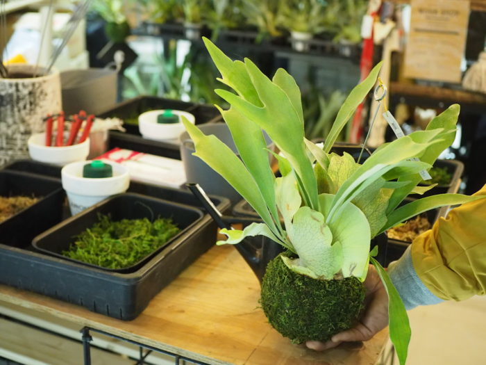 浅岡園芸さんのブースではビカクシダの苔玉ワークショップが行われていました。