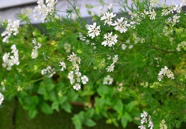 パクチー(コリアンダー)の花は5~6月頃に白い花が開花します。花を咲かせると種をつけていくことにエネルギーを費やすため、種をつけないようにどんどん摘み取ると、新しい葉を出します。花もかわいいハーブなので、花を楽しむ株以外は花を咲かせないようにするとよいでしょう。