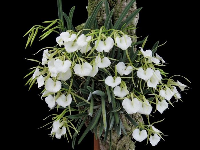 Brassavola nodosa Photo : 清水柾孝  多肉植物のような硬い棒状の葉(バルブ)を持ち、花が咲いていない時期でも見ていて楽しいラン。よく増えて、新芽が沢山出て大きくなりやすいです。