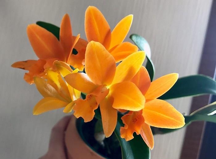 Rhyncattleanthe Young-Min Orange