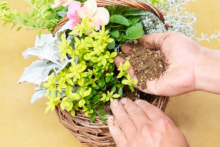 プリムローズジャスミンをシロタエギクの後ろに植え付けます。最後のひと苗になった時、株が入るスペースがない場合は余計な土を掻き出してから苗を植えましょう。