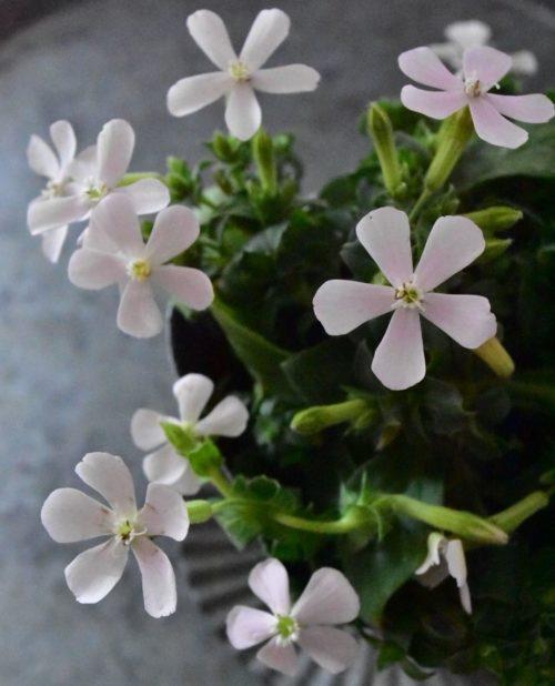最近は白花やマットなピンクなど、色の種類も増えてきました。