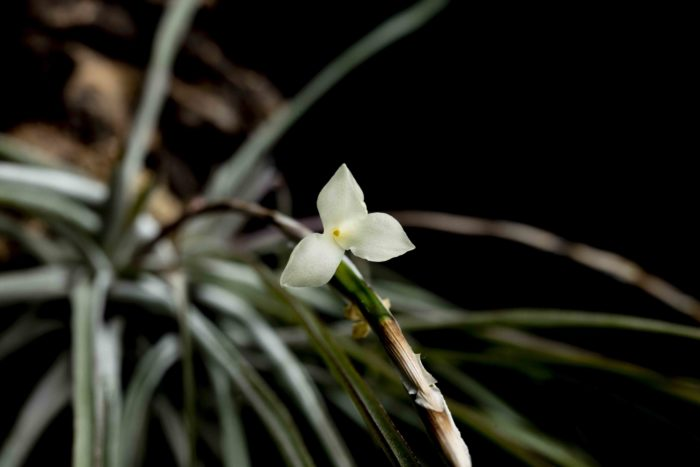 トリグロキノイデスは夕方~夜に花を咲かせます。黄色がかった白花はエンゼルトランペットのような甘い香りが強くします。花の寿命が短く、1日~2日程度で萎んでしまいます。
