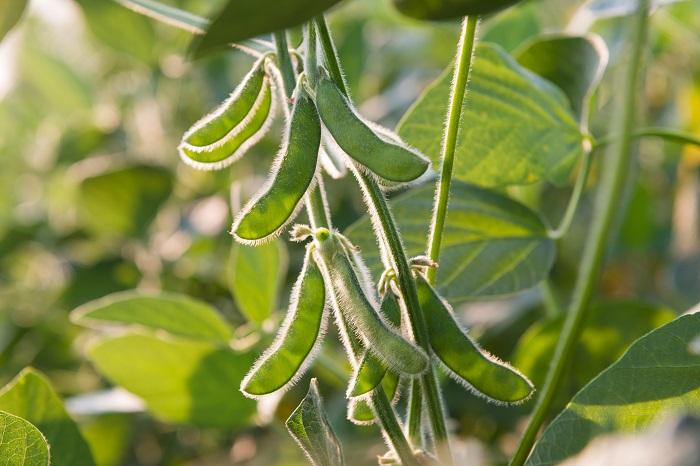 枝豆は昔は田んぼの畔で育てていた、というくらい土壌を選ばず育ってくれる丈夫な野菜です。枝豆は熟して大きくなる前の大豆です。採れたての枝豆は甘みがあって、とてもおいしい野菜です。