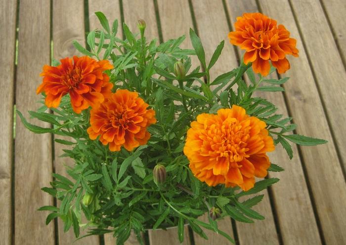 マリーゴールドはキク科の非耐寒性一年草で、開花期は5~11月頃です。独特な香りがします。  日なたと水はけのよい用土を好む植物です。  4~5月頃の種まきと、挿し芽で増やすことが出来ます。  大きく分けて、フレンチマリーゴールドとアフリカンマリーゴールドに分けられます。  また、マリーゴールドはコンパニオンプランツとしても活躍しています。コンパニオンプランツとは、一緒に植えると互いの性質が影響し合って病害虫が抑えられたり、元気に育つようになる植物のことをいいますが、マリーゴールドは様々な植物と相性が良く、マリーゴールドを植えておくと植物の根を侵すセンチュウ被害を防げると言われています。