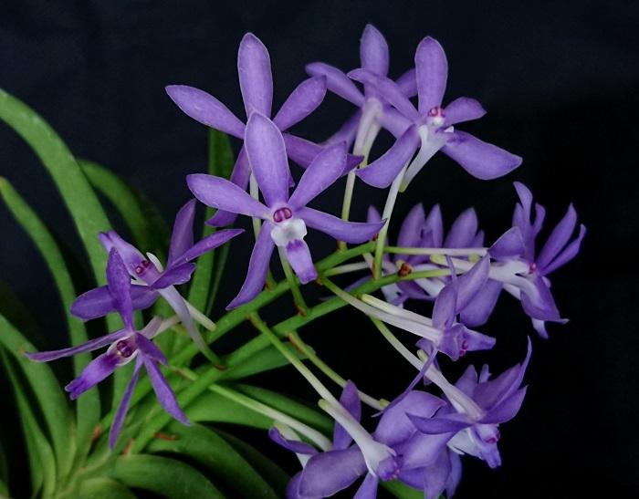 Vandachostylis Charm 'Blue Star'