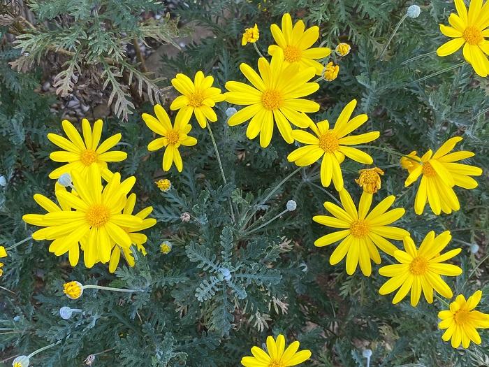 ユリオプスデージーは秋、冬、春の11月~5月にかけて、マーガレットに似た黄色い可愛らしい花を咲かせます。苗で流通している時点では草花風ですが、ユリオプスデージーは常緑の低木で、何年か経つと主軸の茎は木化してきます。冬の花が少ない季節に長期間開花する草花は貴重な存在です。