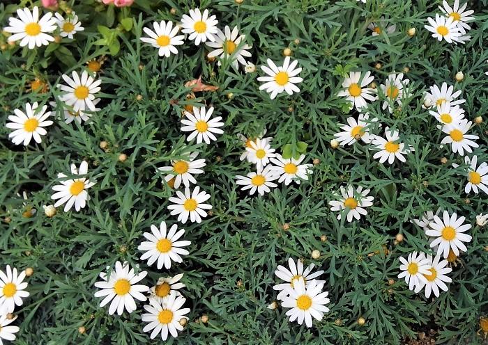 マーガレットは、キク科の半耐寒性多年草です。日なたと水はけのよい用土を好みます。開花期は4~6月です。咲き方は一重、八重、ポンポン咲きなど品種によって様々あります。花がら摘みと月1回の追肥で長く開花します。花後に草丈を半分に切りましょう。冬に霜にあたらなければ越冬して大株になります。  マーガレット全般の花言葉として、「恋占い」「真実の愛」があります。