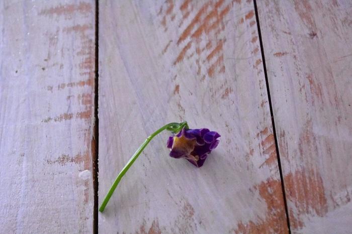 こちらは花が咲き終わりのビオラ。ビオラは花の終わりになると、花びらがくるんとカールして、しわしわした触感になります。このような状態をドライフラワーにしても、きれいな状態のドライフラワーになりません。ドライフラワーにするビオラは、咲き始めの新鮮なビオラを使いましょう。